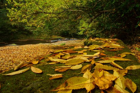 落葉のじゅうたん.jpg